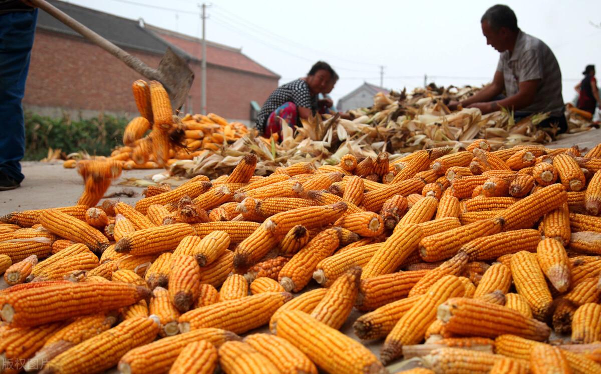 玉米开秤价格大涨,专家建议谨慎对待,为啥?难道后期要跌?