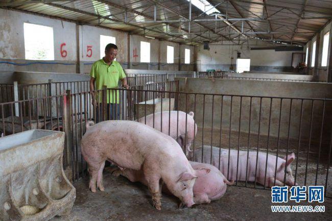 云南:养猪托起致富梦 上半年纯收入达30万元