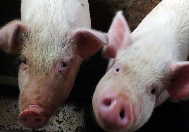 上个月猪价大跌10.4%,10月猪价或继续下跌,探底到多少?