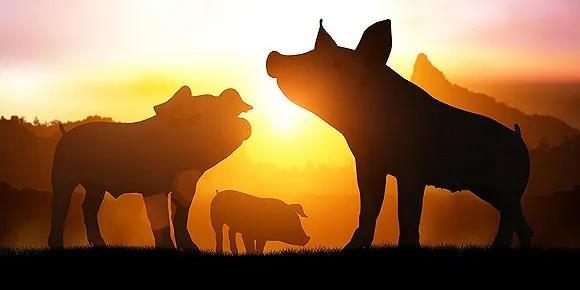 """10月3日生猪价格,假期震荡回暖,但应""""好景不长""""及时出栏!"""
