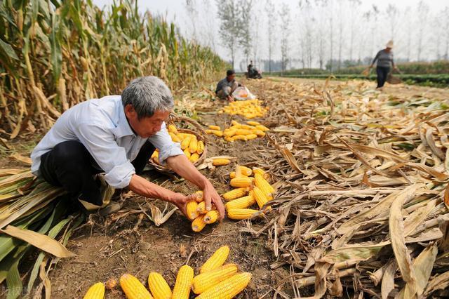 新玉米上市,抢粮大战来袭,农民却惜售,玉米价格要再次大涨了?