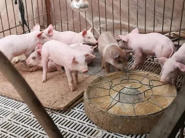 在养猪的过程中,如何正确地培育后备母猪呢?3阶段培育法