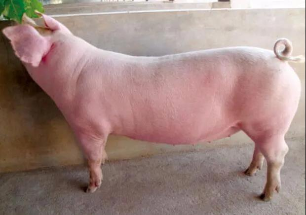 10月3日全国各地区种猪价格报价表,种猪价格居高不下!
