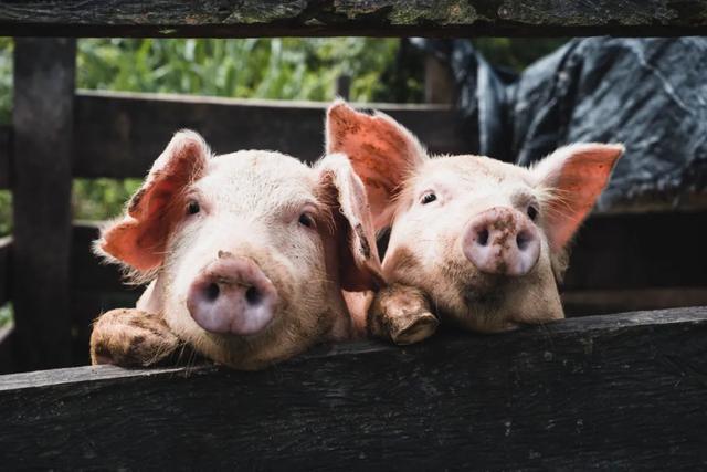 """转基因""""超级猪"""",更不易染病,何时能上餐桌?"""
