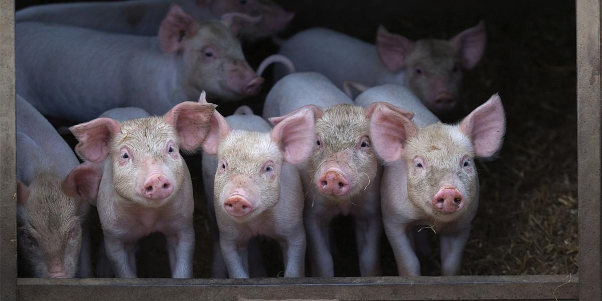 预计年底生猪出栏1000万头以上,云南省曲靖市大力推进生猪产业规模化发展