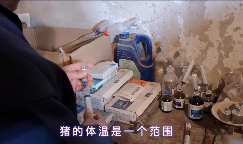 生猪发烧,用药不当很危险,3个方法让猪安全退烧