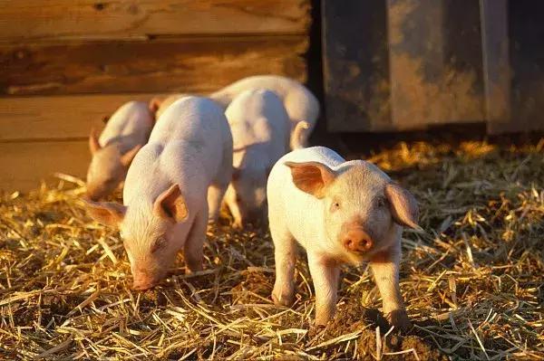 秋季北方猪场养殖技术要点,提高猪场饲养管理水平!