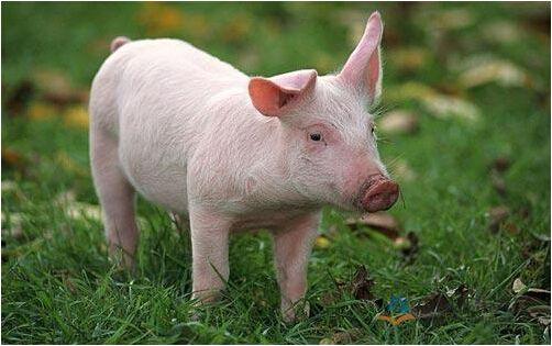10月6日全国10公斤仔猪价格表,全国仔猪价格保持小幅下跌态势!