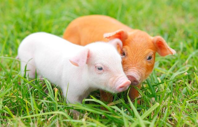 10月6日全国20公斤仔猪价格表,今日仔猪价格整体比较平稳,单日跌幅不明显!
