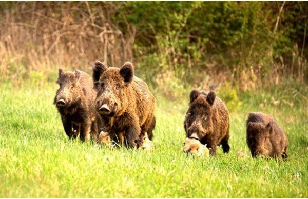 累计49头非瘟病例!10月5日德国再现感染野猪,多国禁止猪肉进口