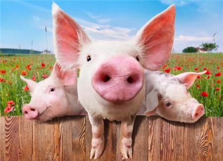 母猪批次化生产的全进全出模式推动生猪复产