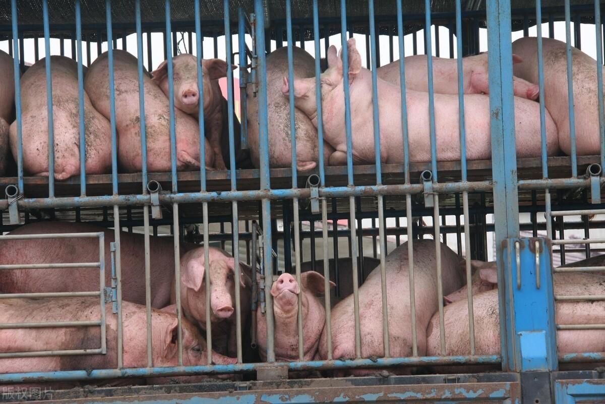 养猪巨头停购、抛售仔猪预示什么信号?猪价真会一跌不起?