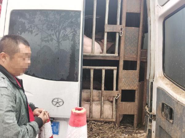 重庆酉阳:男子跨省偷运70头生猪 遇检强行冲关被查