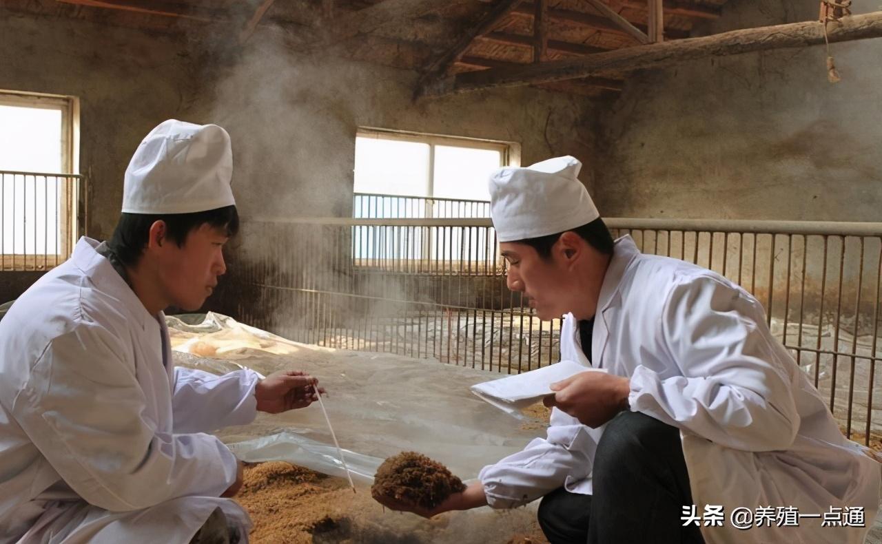 发酵床养猪冬季日常管理,垫料勤翻倒防积水