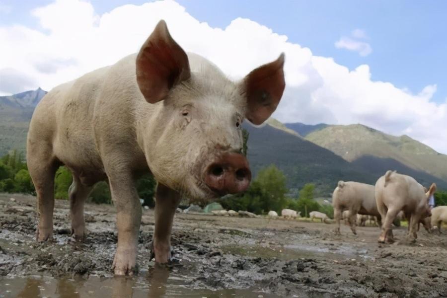 10月13日生猪价格,跌势汹汹,猪价会跌至10元?看专家咋说