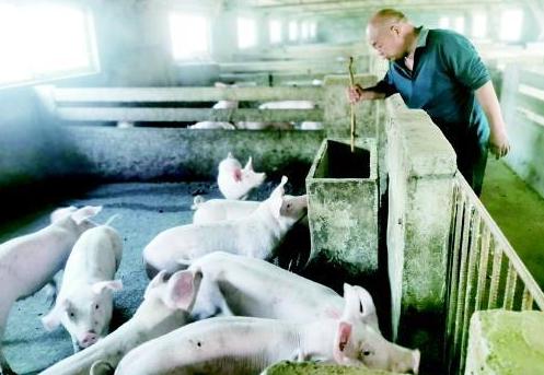 抓住生猪价格大涨时机,昌乐20年养鸡大户改养猪!一年赚60万