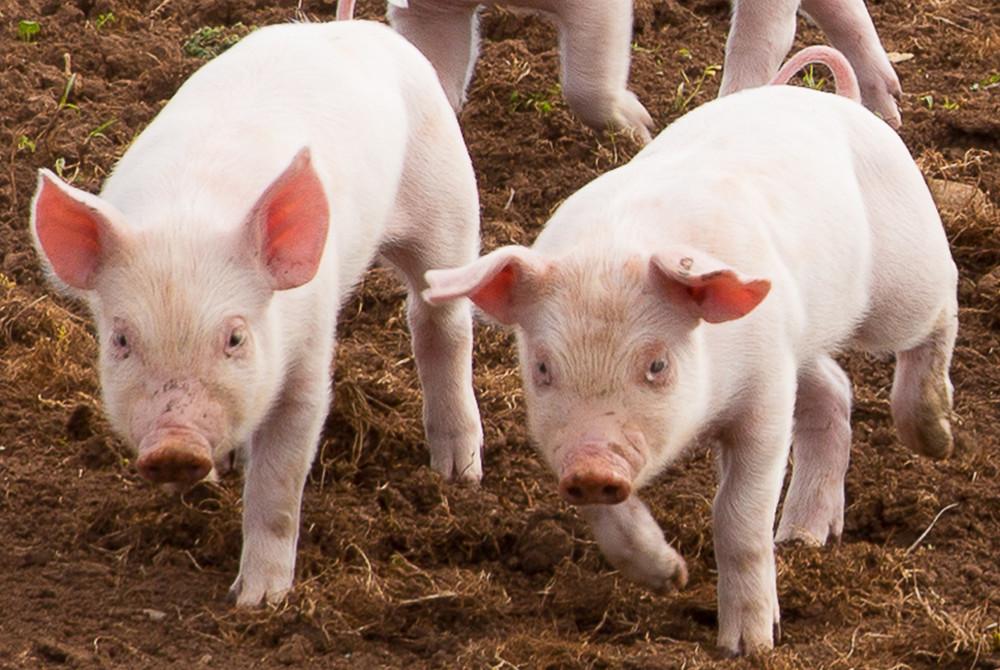 10月15日全国10公斤仔猪价格表,上海黄浦10公斤外三元仔猪价格为1000元/头!