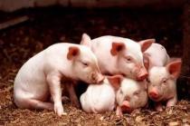 复产投入大,更要抓效益!防好腹泻让猪场安全过冬