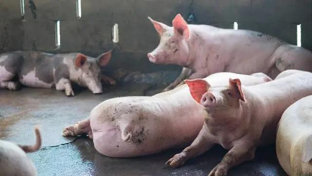 母猪做B超适宜时间是什么时候?做B超的具体位置在哪里?
