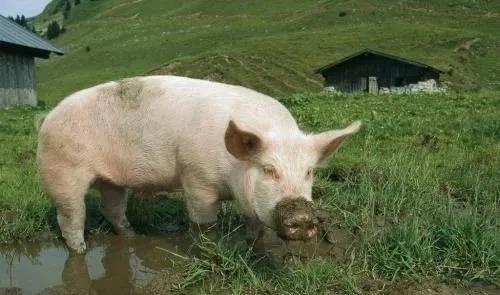 猪消化道疾病