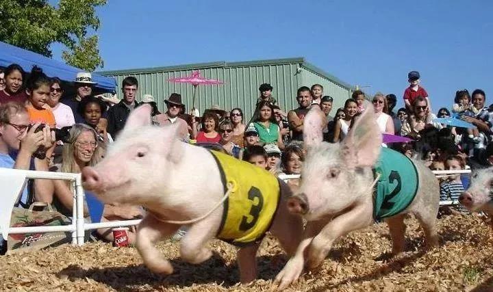 牧原三季度生猪销售超510万头,能繁母猪存栏220万头