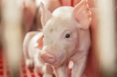 10月18日全国10公斤仔猪价格表,抛售仔猪,猪市要大变?