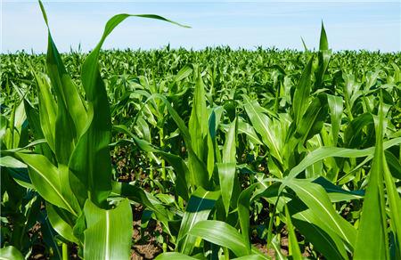 10月19日饲料原料,豆粕需求大,玉米价格每吨涨价千元连创新高!