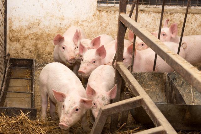 为什么像恒大、万科、网易、阿里等大公司,开始喜欢养猪了