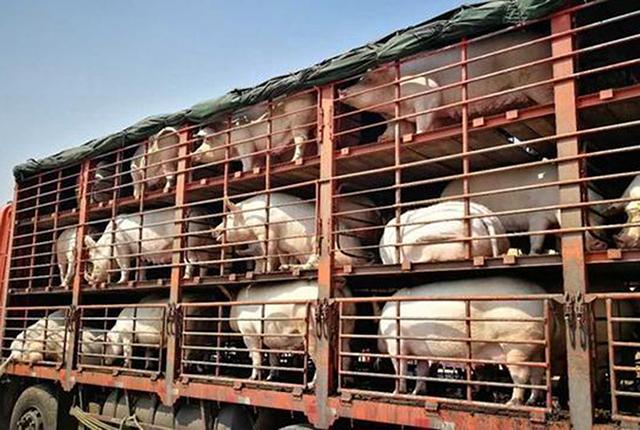 第一批生猪遗传改良计划公猪站,桂垦牧业成为广西供港活猪主力军