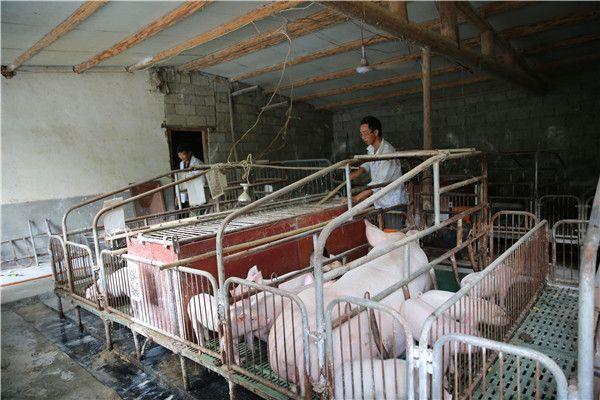 陕西安康:90后大学生返乡养猪