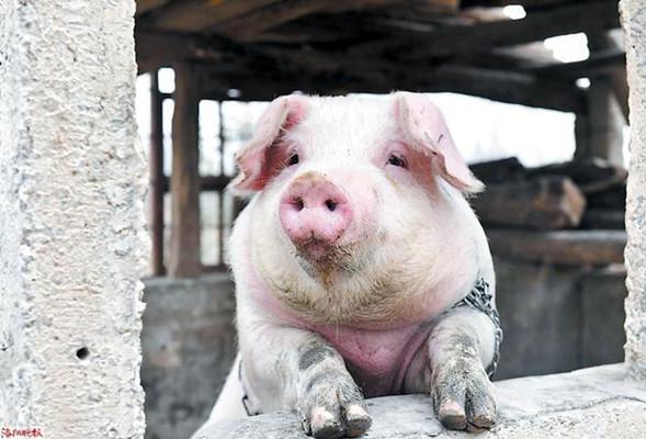 秋冬冷热交替温差较大,猪肺疫多发需及时防治