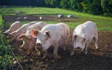 湖南新化:着力生猪养殖产业 推动民生事业和乡村振兴双发展