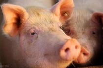 大北农 拟参设100亿元产业基金 首期10亿元支持旗下生猪养殖项目