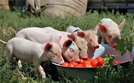 10月20日全国15公斤仔猪价格表,仔猪成本下跌,单价几乎在1000元/头!
