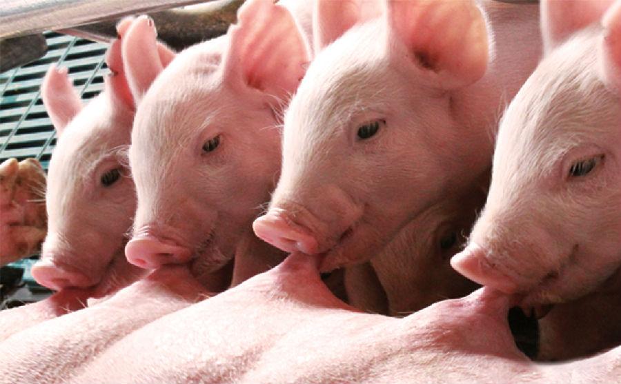 10月21日全国20公斤仔猪价格表,云南寻甸20公斤外三元仔猪价格为1400元/头!