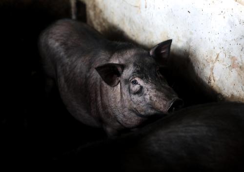 只为记忆里的味道!他坚持土法养猪连续5年亏损,第6年终于……