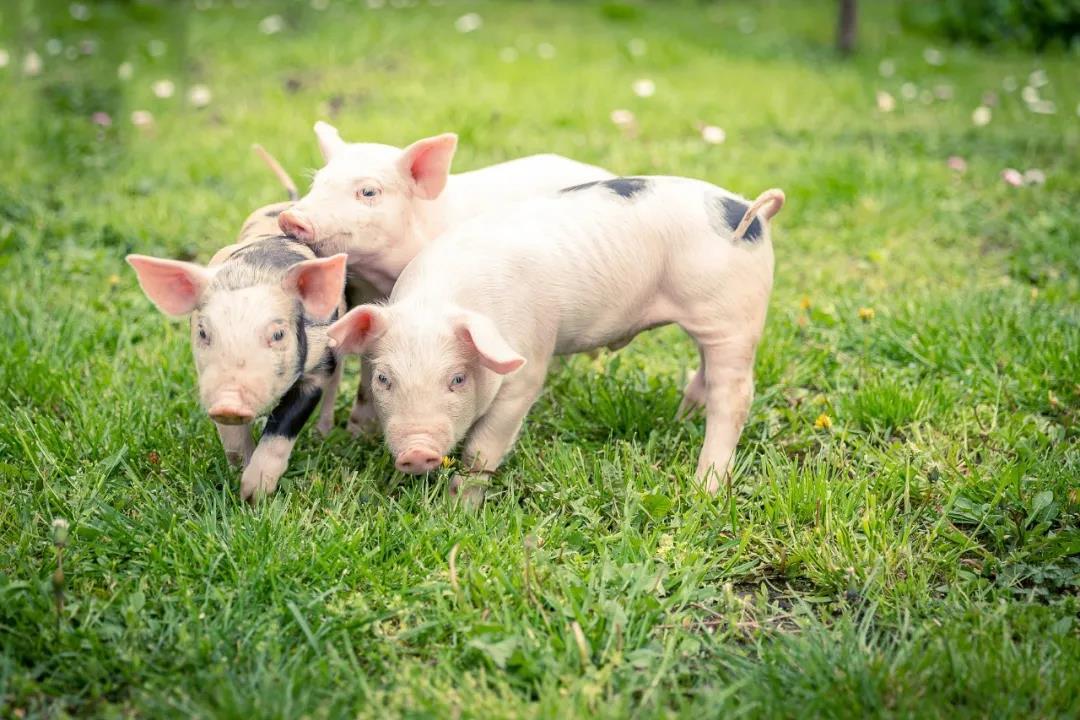 猪价暴利期退潮!四季度前猪价走势预测!