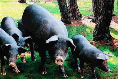 一动工就打砸!30多名村民怒毁他人猪场被拘留