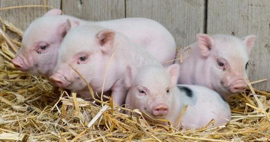 10月22日全国20公斤仔猪价格表,均价继续下跌,跌幅达12.49%!