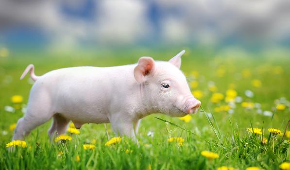 仔猪再降4.1%!猪价连跌数,降幅达4.5%!