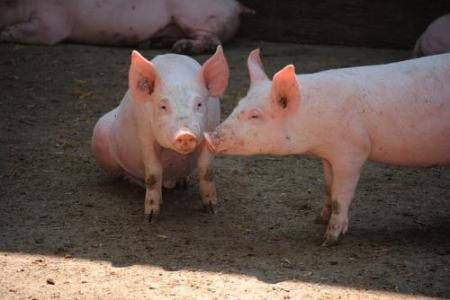 """好消息!广西:玉林养猪业""""满血复活"""""""