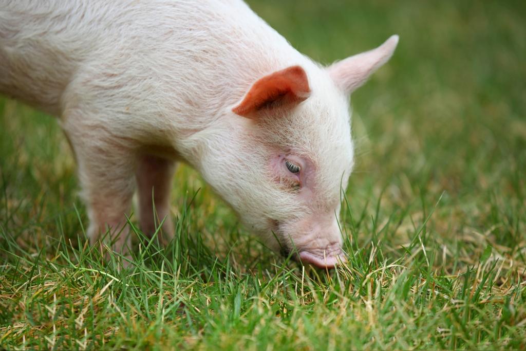 10月23日全国20公斤仔猪价格表,供需失衡,仔猪行情慢跌!