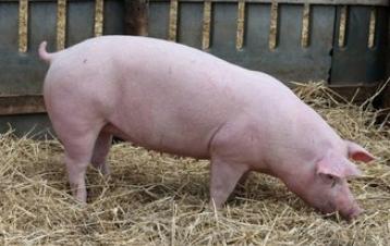 天兆猪业:现代种猪巨头赴港IPO 提升下游产能保持高质量发展