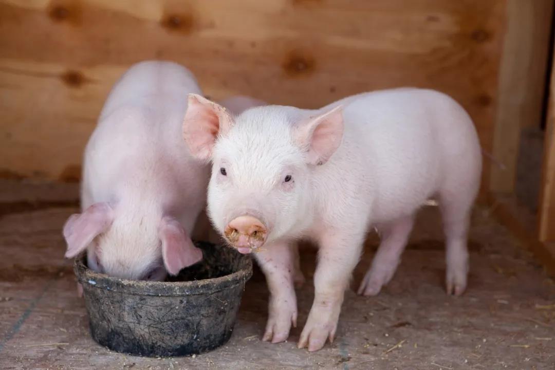 猪感染了圆环病毒该怎么治疗?看这里!
