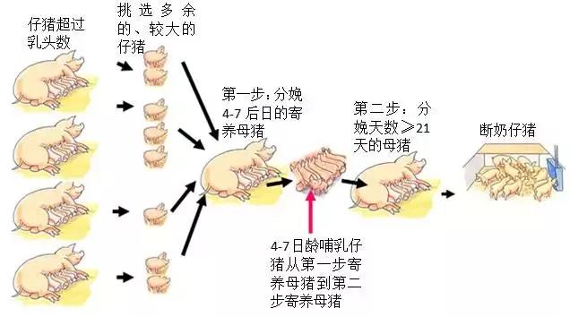这样正确认识并合理寄养,才能提高断奶成活率与断奶重!