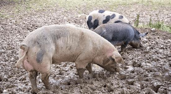 新方法,教你一眼辨识猪伪狂犬病
