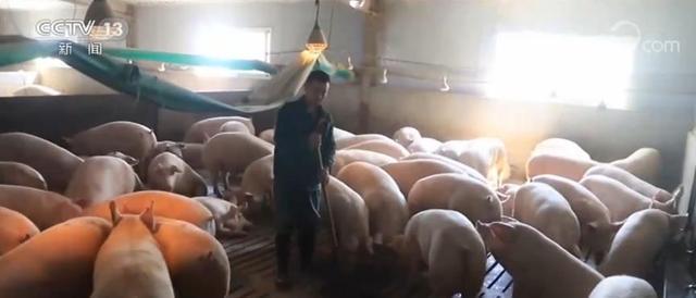 """各地支持龙头企业通过""""公司+农户""""多种形式 推动中小养殖户恢复生猪生产"""