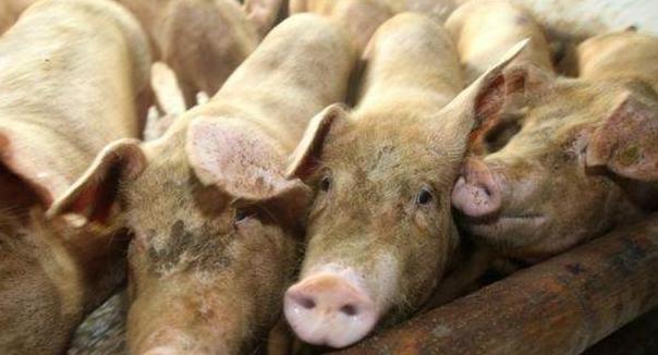 10月25日全国20公斤仔猪价格表,再跌,下跌底线在哪里?