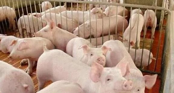 10月25日全国10公斤仔猪价格表,多重压力影响下,仔猪价格继续跌!