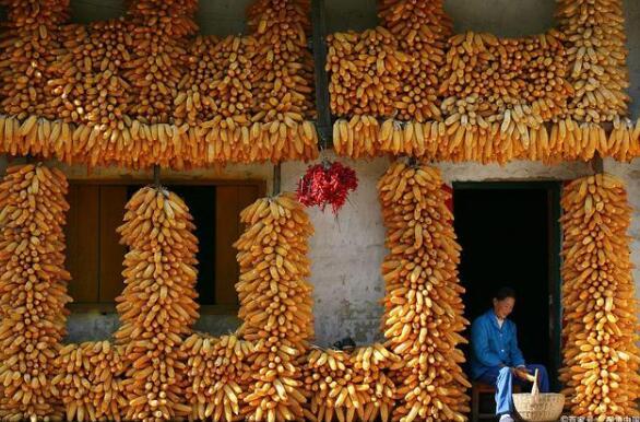 中国已向美国采购超230亿美元农产品,玉米达870万吨,猪肉创新高
